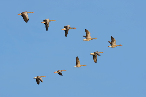 Flock of Greylag geese in the sky