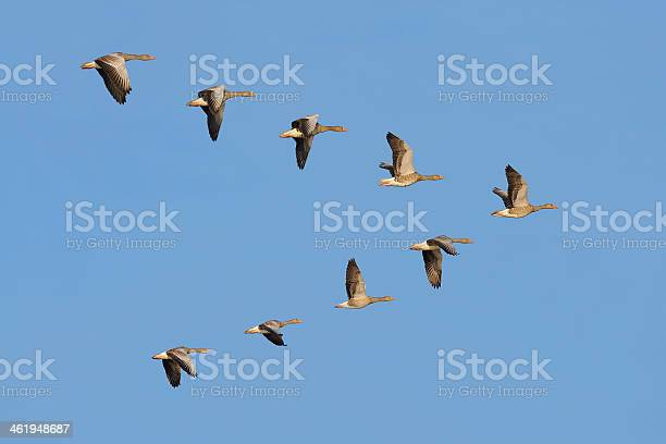 Flock of greylag geese in the sky picture id461948687?b=1&k=6&m=461948687&s=612x612&h=mt5s aj1f4iwspudqogpxsp0wezalbp6gmrup20yq3s=
