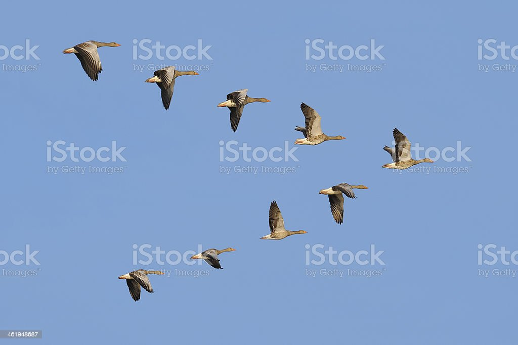 Flock of Greylag geese in the sky stock photo