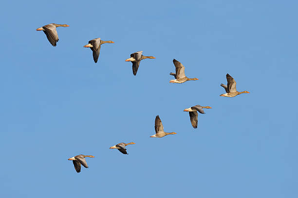 Flock of Greylag geese in the sky Flock of migrating greylag geese flying in V-formation. flock of birds stock pictures, royalty-free photos & images