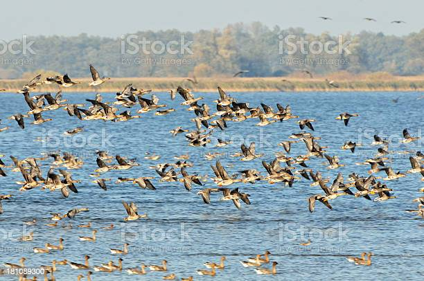 Photo of flock of Greylag Goose during autumn migration at Lake (Germany)