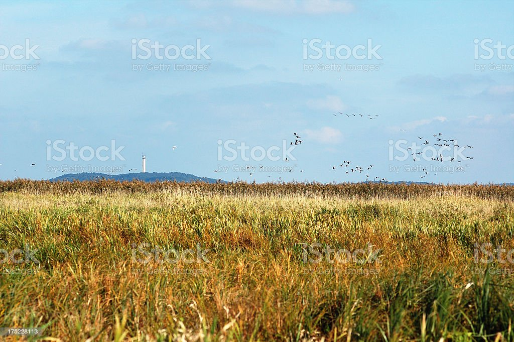 flock of Greylag Goose during autumn migration field (Germany) royalty-free stock photo