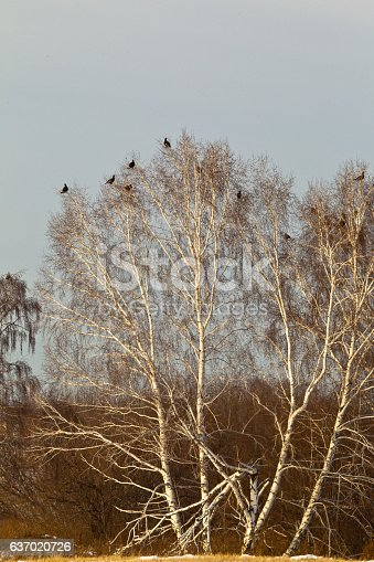 Flock of grouse. Siberia, Russia