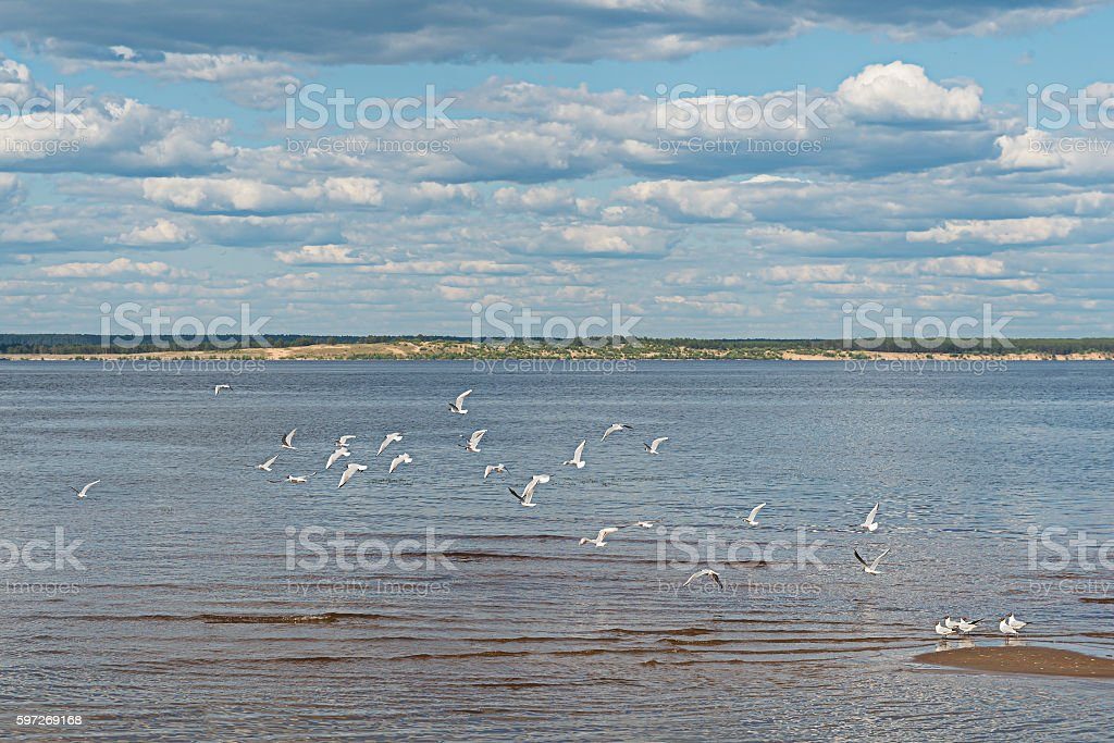 flock of gulls on the river royalty-free stock photo