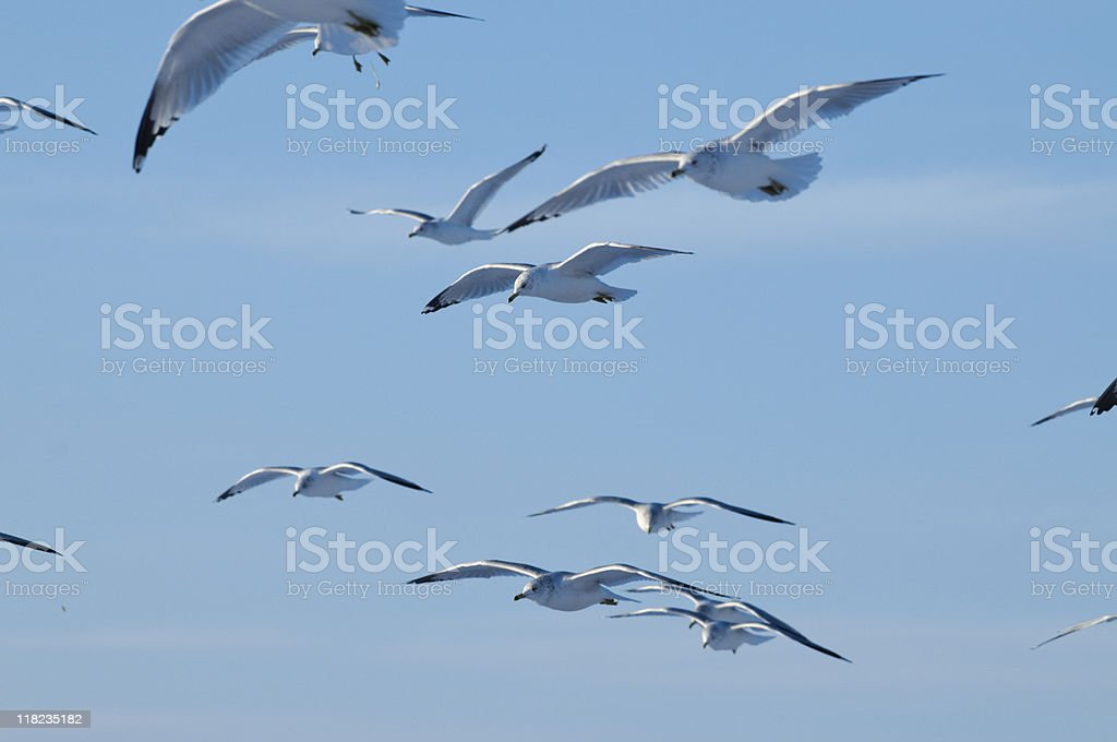 Flock of Gulls stock photo