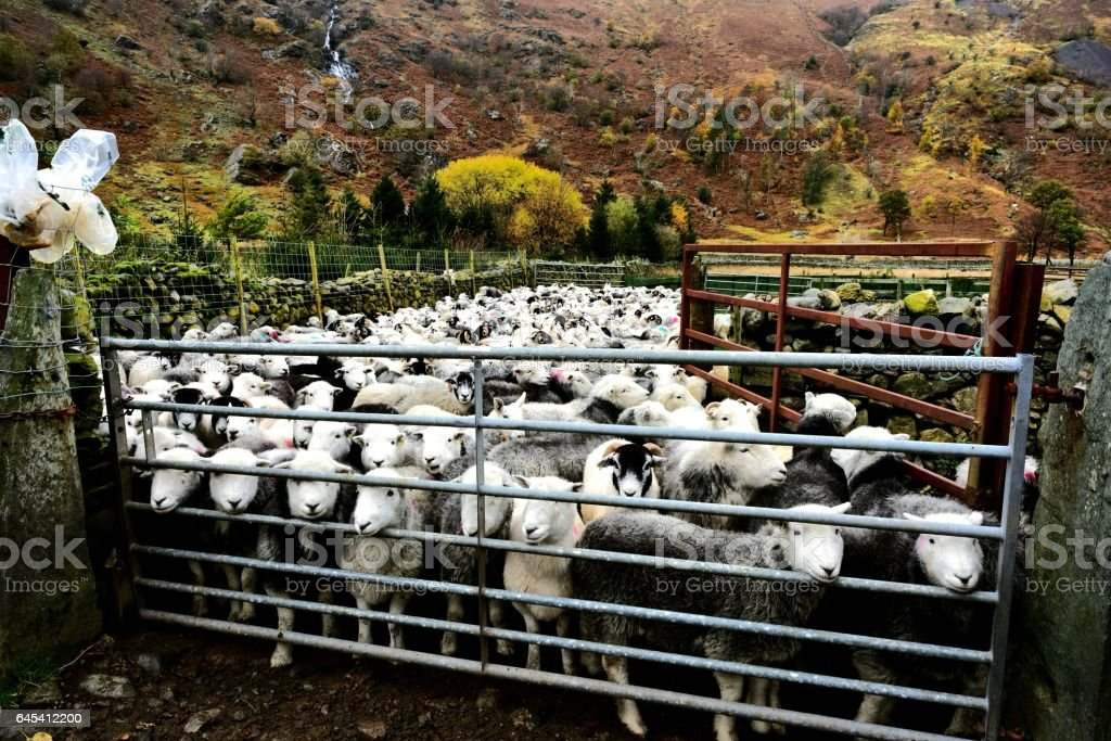 Flock of Herdwick Sheep stock photo