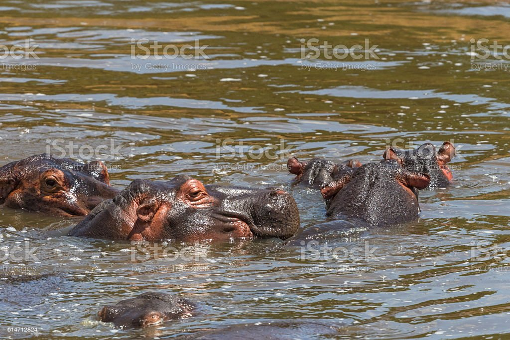 Flock of Hippos bathing in the water stock photo