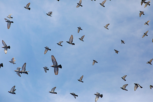 flock of homing pigeon flying against clear blue sky