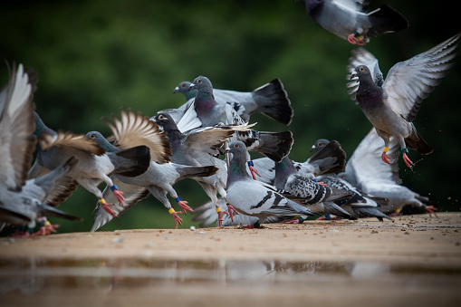 flock of homing pigeon flying from roof