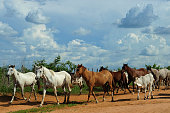 Flock of horses and cows grazing for cattle, near a fence, in the state of Ceará. Region affected by drought, economic crisis, poverty, lean animals. Cattle, beef, meat. Farm, ranch.