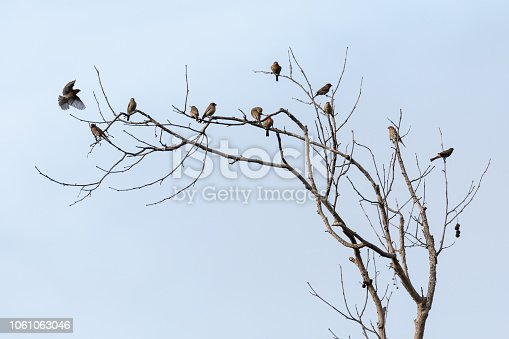 A flock of house finches gathering at the top of a dead tree in Costa Mesa, California.