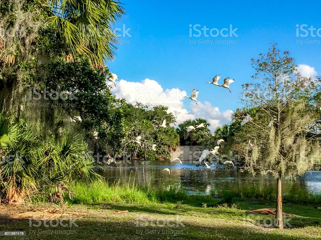flock of ibis flying in lake stock photo