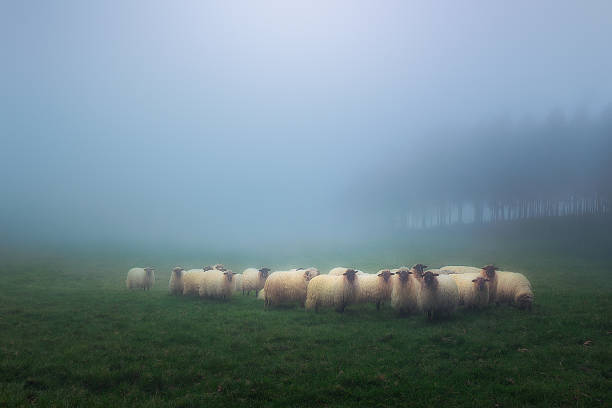 flock of latxa sheep stock photo