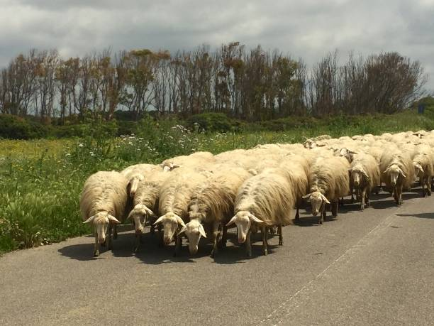 flock of long-haired sheep stock photo