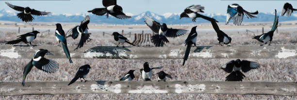 flock of magpies on fence in prairies and mountain - gliedmaßen stock-fotos und bilder