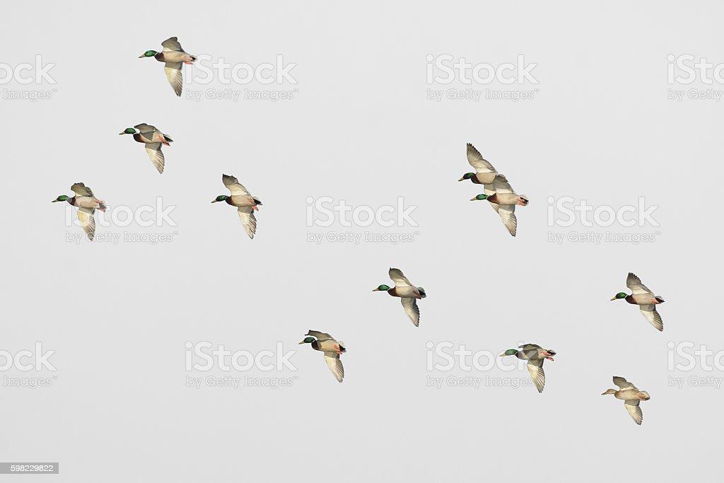 Flock of mallard drakes in flight foto royalty-free