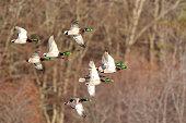 Mallard ducks flying past.