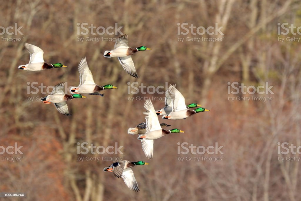 Flock of Mallard Ducks stock photo