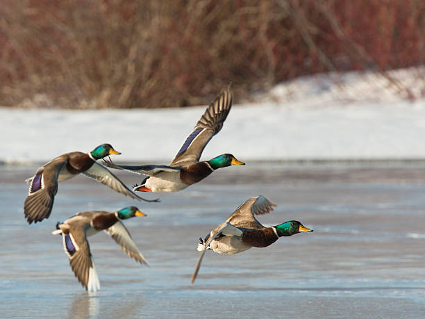 Flock of Mallards A flock of Mallard drakes over a frozen wetland drake male duck stock pictures, royalty-free photos & images
