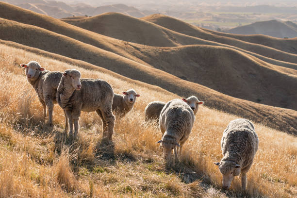flock of merino sheep flock of merino sheep grazing on grassy hill at sunset merino sheep stock pictures, royalty-free photos & images