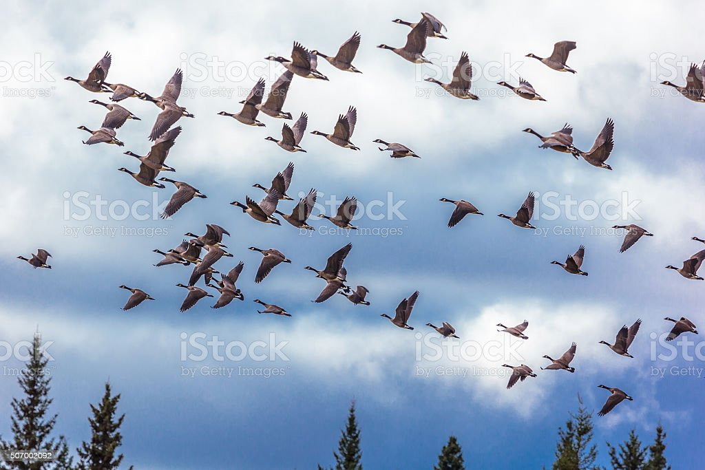 Flock of Migrating Canada Geese in Flight stock photo