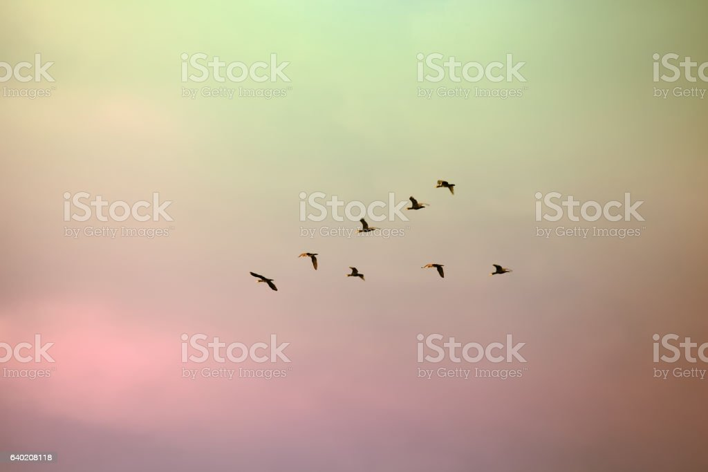 flock of migratory birds lined up in a V formation stock photo