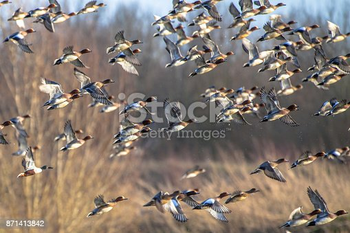 Migrating Eurasian wigeon (Anas penelope) ducks are leaving for the southern hibernating areas in autumn and winter.