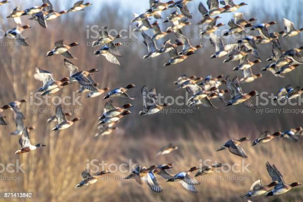 Flock of migratory eurasian wigeon ducks picture id871413842?b=1&k=6&m=871413842&s=612x612&h=c5agns3jxo2y 8d1c72vsmizpjemnssf odfxfc iws=