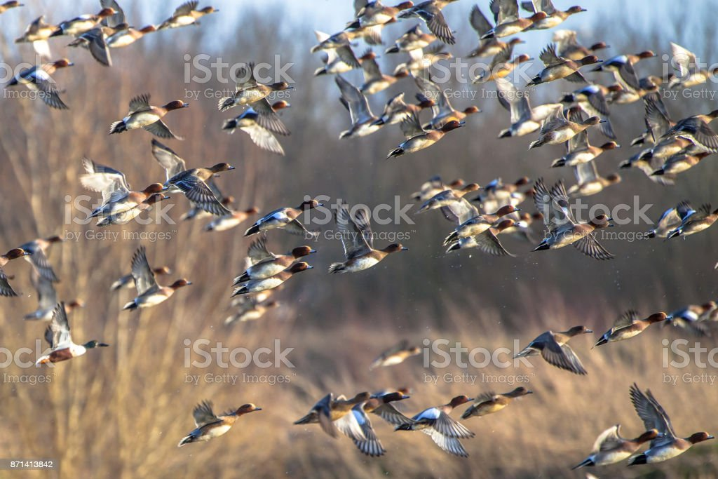 Flock of Migratory Eurasian wigeon ducks stock photo