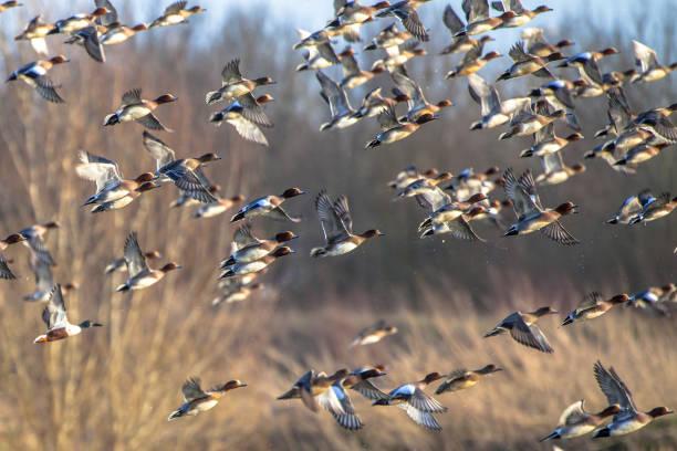 kudde van trekkende smient eenden - vogel herfst stockfoto's en -beelden