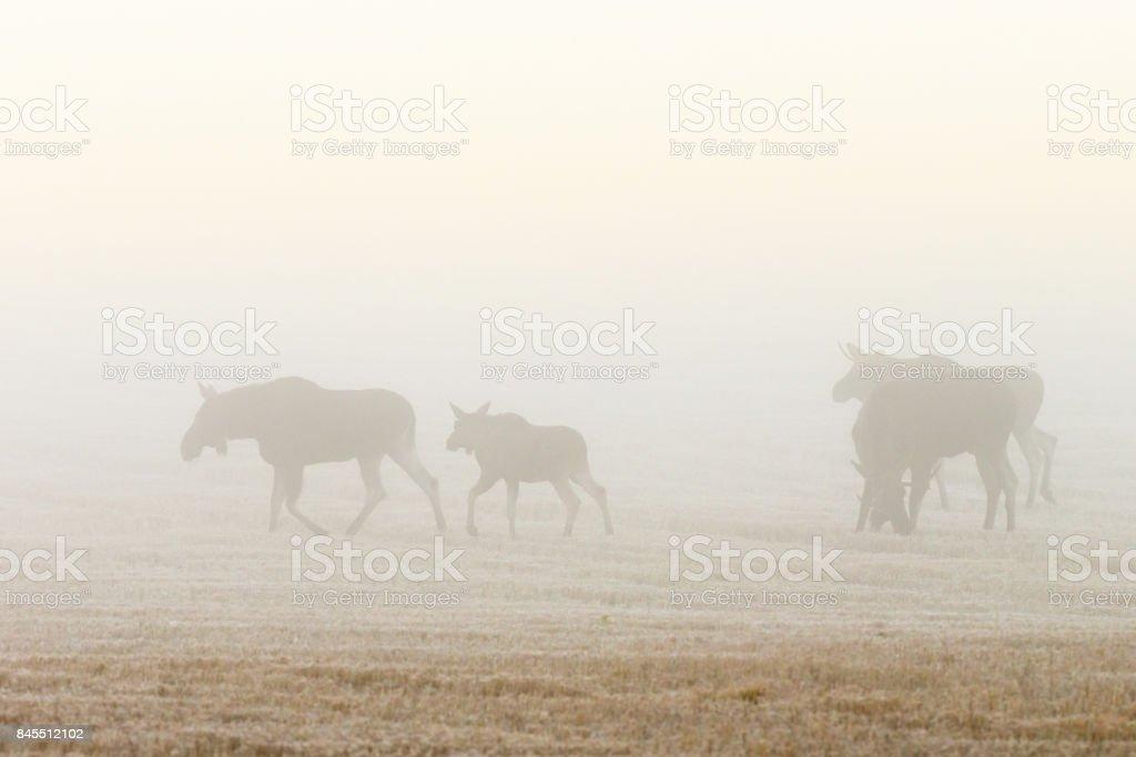 Flock of moose walking on a field in the dawn mist stock photo