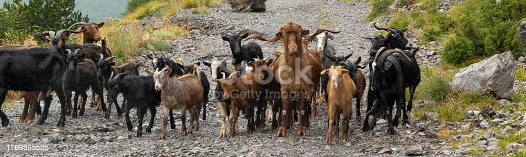 Flock of mountain goats. Domestic livestock grazing in the high altitude