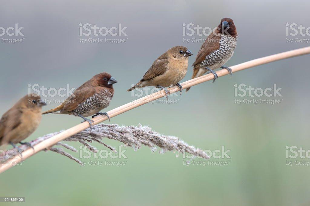 Flock of Munia stock photo