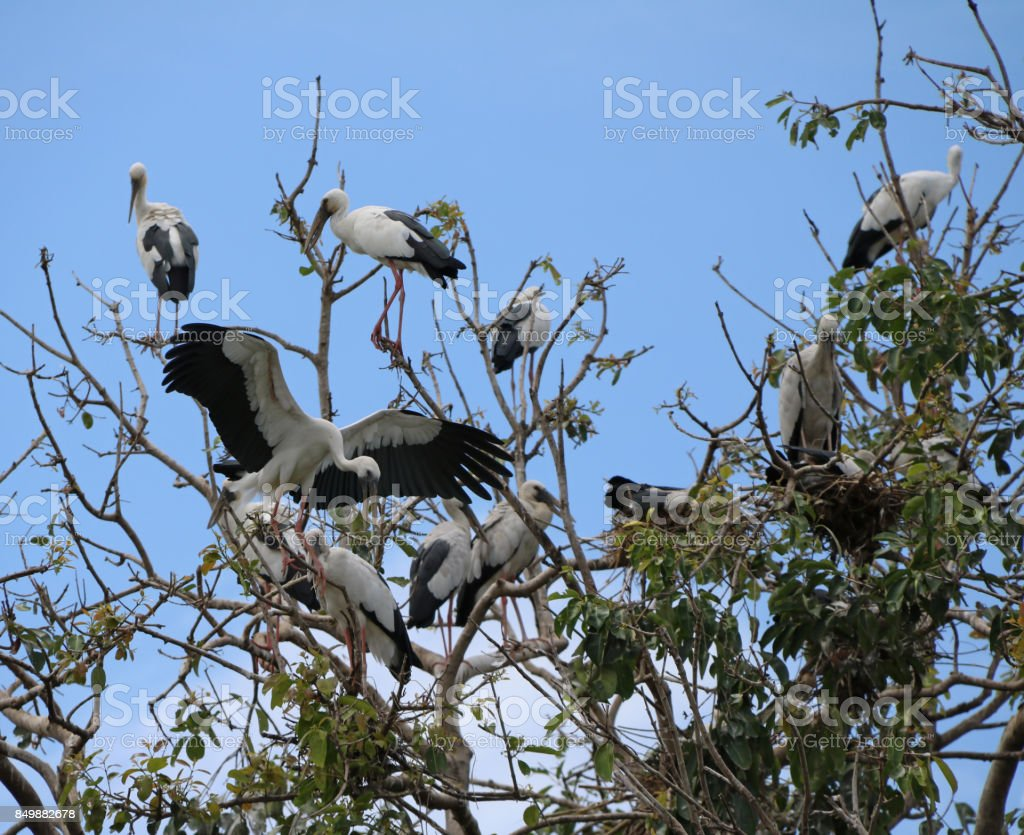 Flock of open billed stork bird perch and winged at the tree on blue sky and white cloud background. stock photo