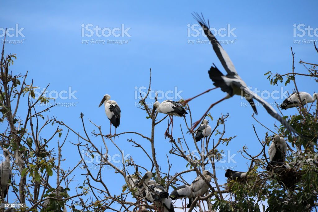 A flock of open billed stork bird perch and winged at the tree on blue sky and white cloud background. stock photo