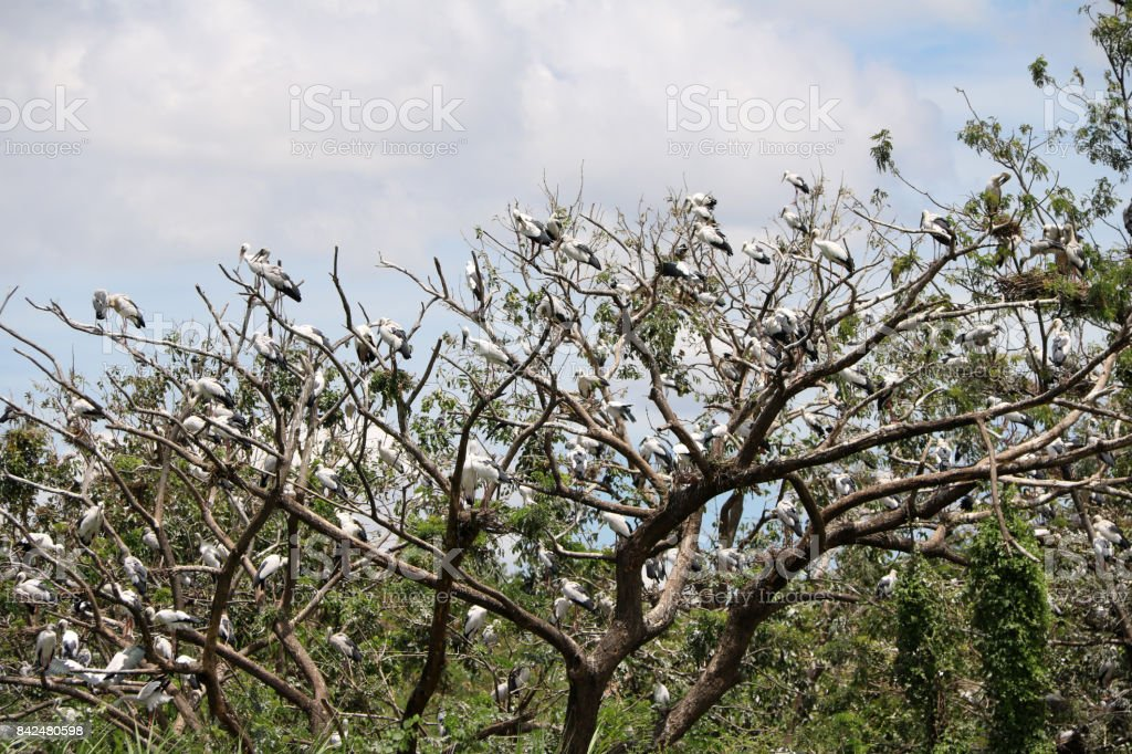 A flock of open billed stork bird perch at the tree on blue sky and white cloud background. stock photo