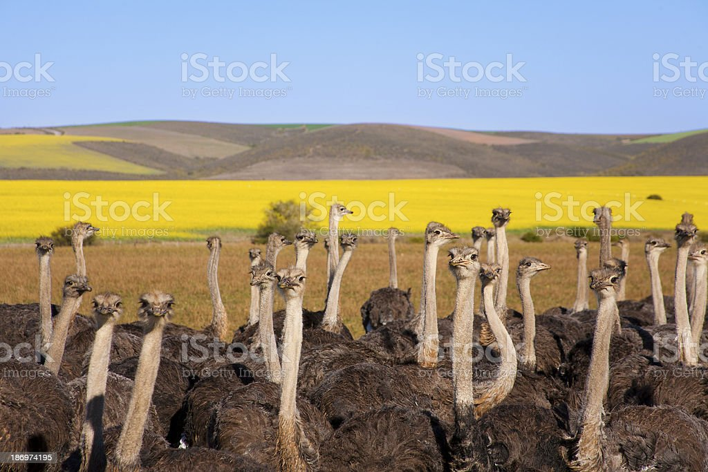 Flock of Ostriches and canola field royalty-free stock photo