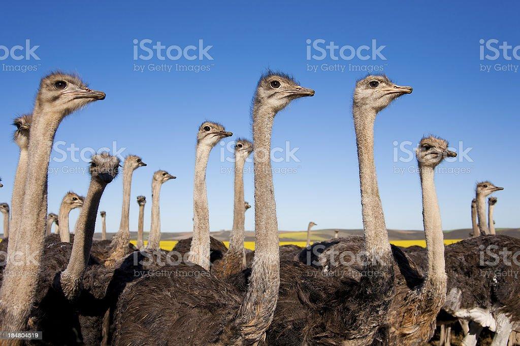 Bandada de avestruces, Sudáfrica - foto de stock