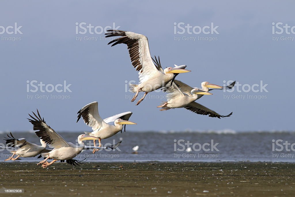 flock of pelecanus onocrotalus taking off royalty-free stock photo