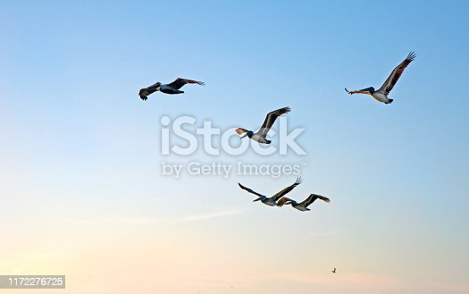istock Flock of pelicans at sunset 1172276725