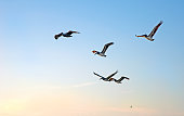 Flock of pelicans flying together over the sea moments before sunset, Clearwater Beach, Florida, USA