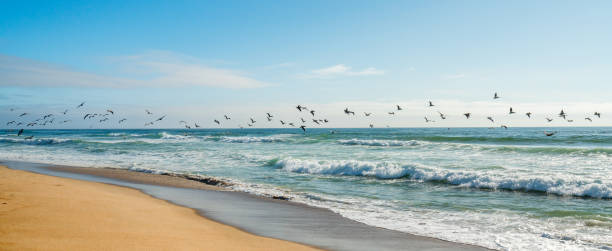 Flock of Pelicans Flying Over the Ocean, Pacific Coastline, California Guadalupe-Nipomo Dunes, California. Flying Birds and Beautiful Pacific Ocean santa barbara california stock pictures, royalty-free photos & images