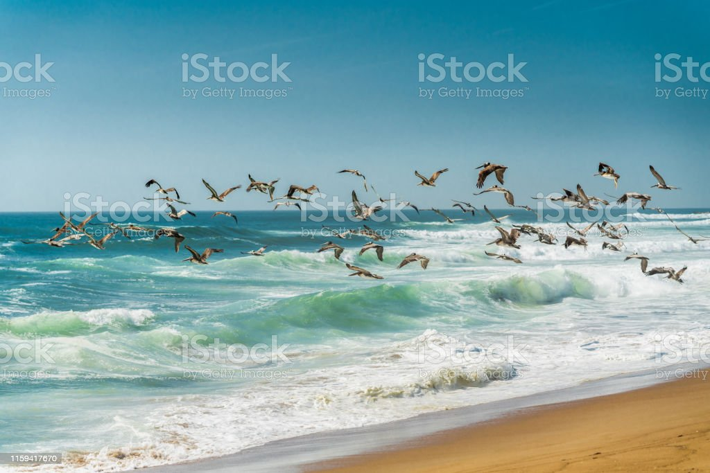 Flock of Pelicans on the Beach, Stormy Waves, and Blue Sky in...