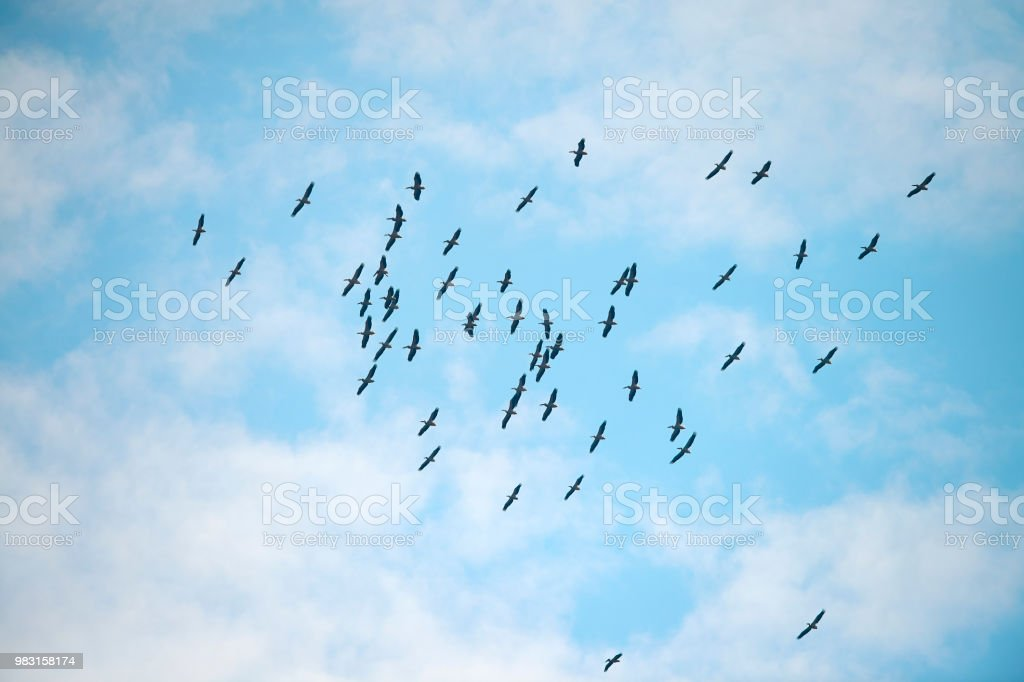 horizontal shot of flock of birds flying above the sky in summer day.