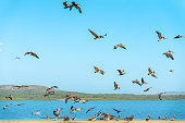 Flock of Pelicans on the Beach, Blue Sky Background