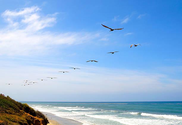 flock of pelikane über san diego beach - süd kalifornien stock-fotos und bilder