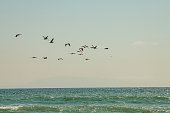 A flock of pelicans makes there way across the skies. These birds can be found in great numbers along the shores of Ventura, California.
