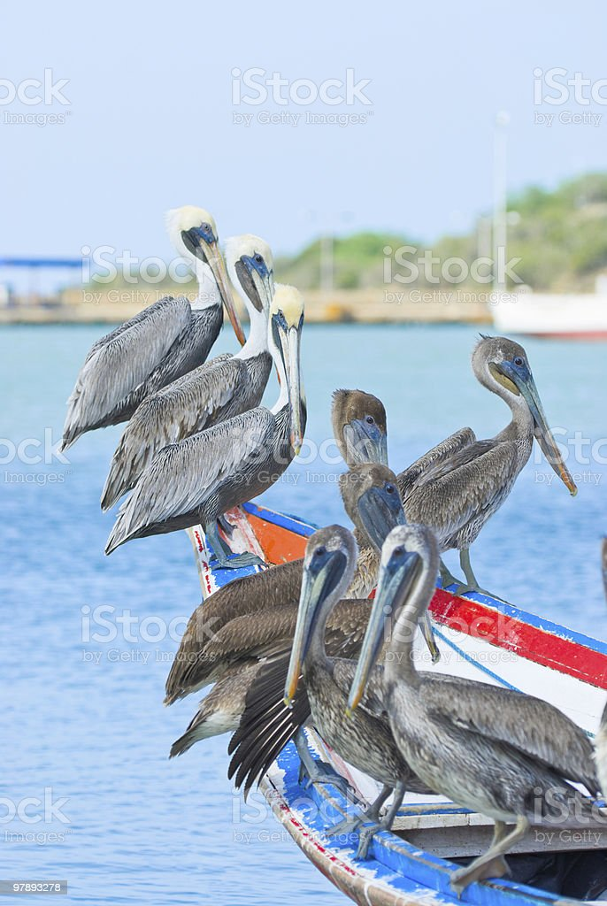 Flock of Pelicans royalty-free stock photo