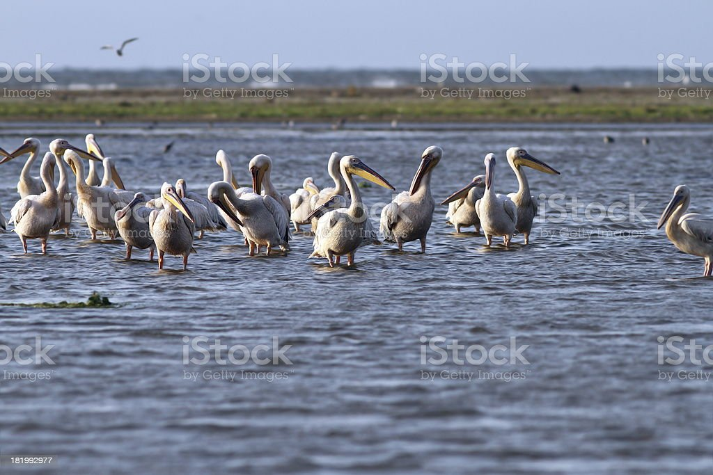 flock of pelicans standing  in shallow water royalty-free stock photo