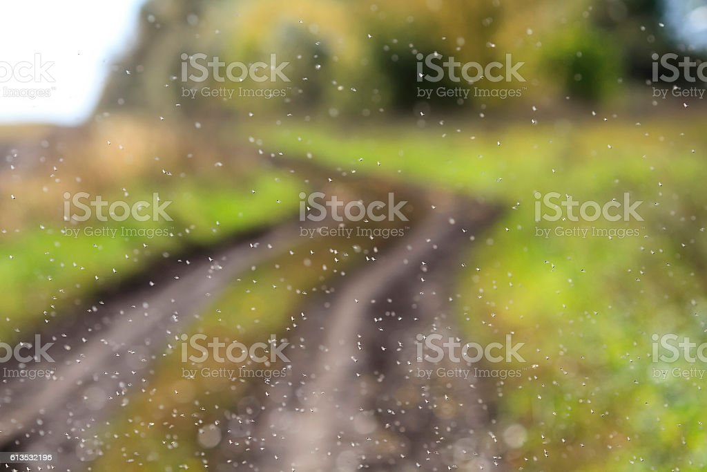 flock of pesky midges winds in the air stock photo